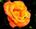 Moja vrtnica
