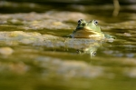 Žaba - Oton Naglost 3